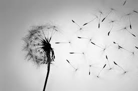dandelion blowing 3