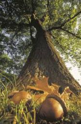 oak and acorn